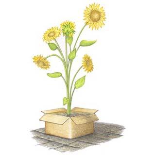 Farbstiftzeichnung Sonnenblumen