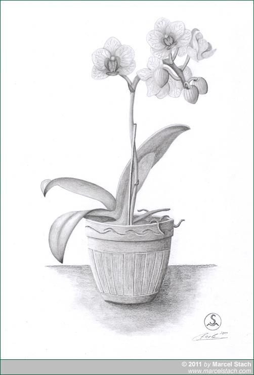 Bleistiftzeichnung Orchidee