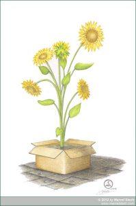 Farbstiftzeichnung Sonnenblume